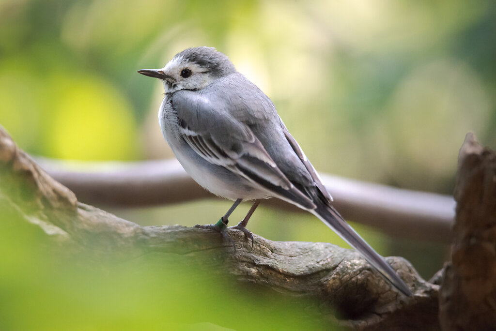 Dreamy Wagtail
